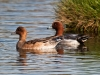 Cley Wigeon_07