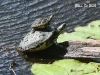 Suwannee Cooter_name