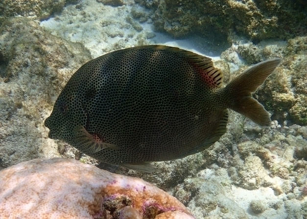 Lined bristletooth surgeonfish