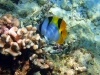 Black-wedged butterflyfish