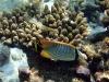 Scrawled butterflyfish