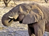 Elephants / Namibia