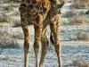 Giraffe / Namibia