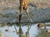 giraffes-5