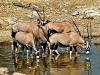 Oryx, Gemsbok at Waterhole / Etosha Namibia