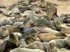 Cap Fur Seal / Namibia