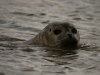 Common Seal / Titchwell, Norfolk