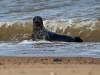 Grey Seal Pup / Horsey, Norfolk