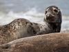 Grey Seal / Horsey, Norfolk