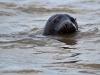 Grey Seal/ Horsey, Norfolk