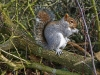Grey Squirrel / Norfolk