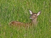 Red Deer Fawn / Isle of Mull