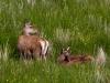 Red Deer / Isle of Mull
