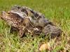 Frog & Toad in amplexus / Norfolk