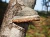 Hoof Fungi, Wolverton, Norfolk