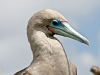 Brown Red-footed Booby