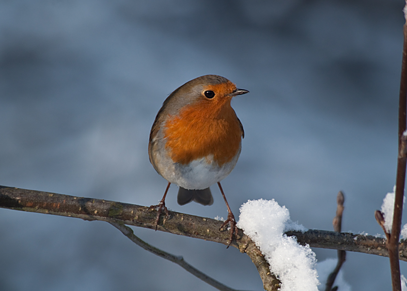 Robin in Winter on the North Norfolk Coast