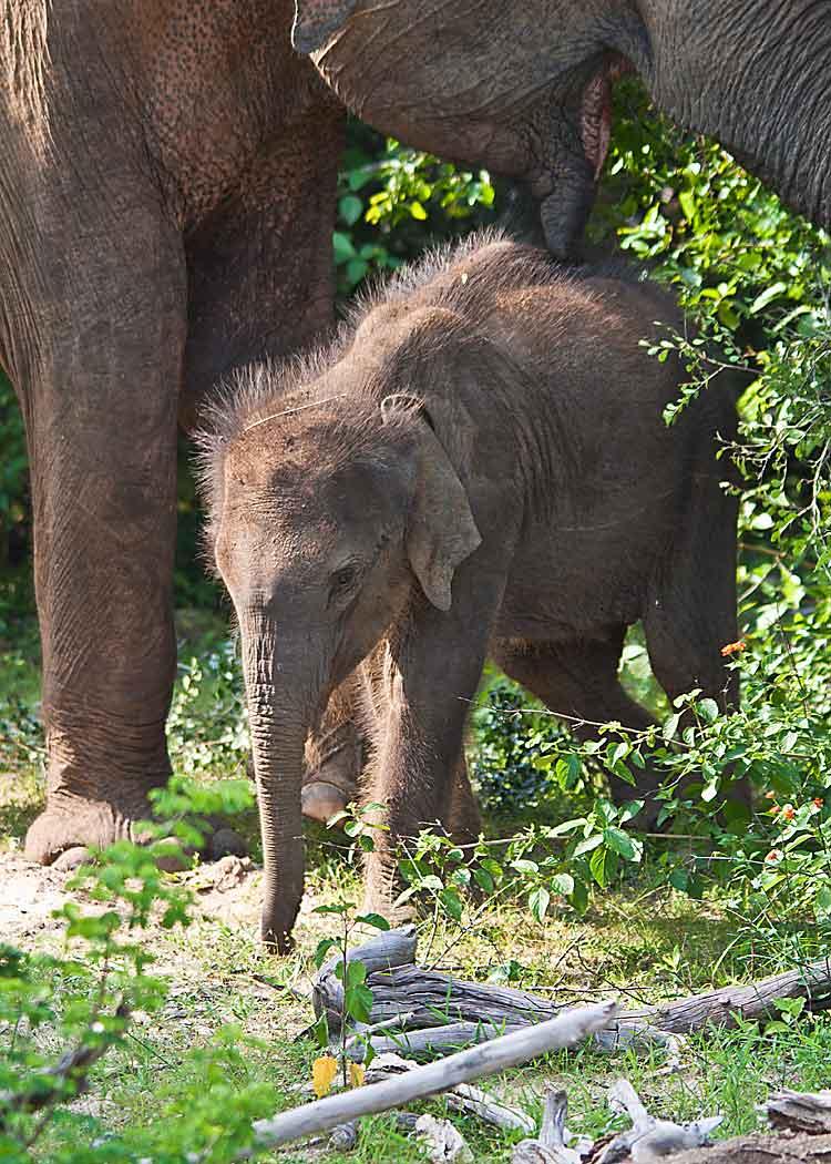 Baby Elephant in Yala National Park