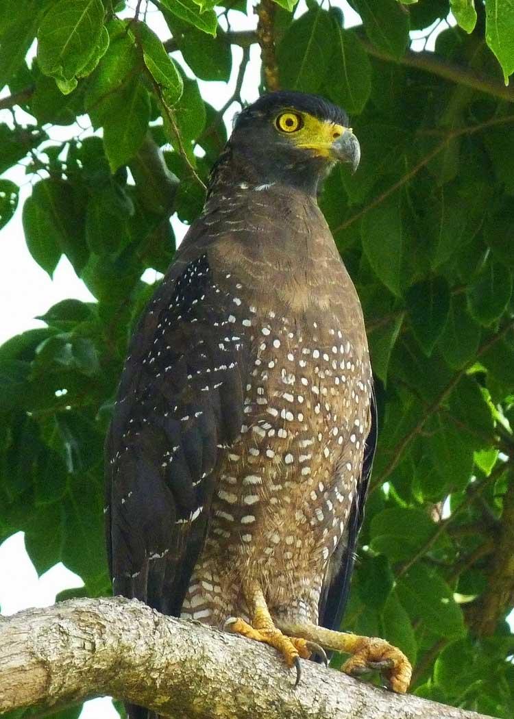 Crested Serpent Eagle Uda Walawe National Park