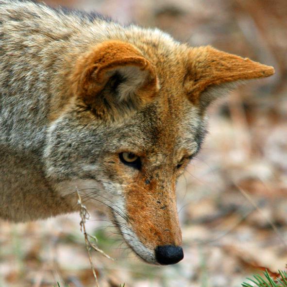 Coyote / Yosemite USA