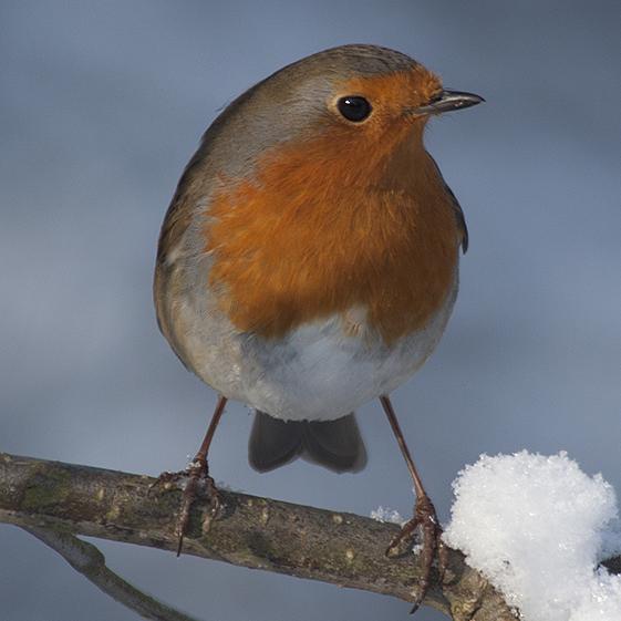 Winter Robin_041
