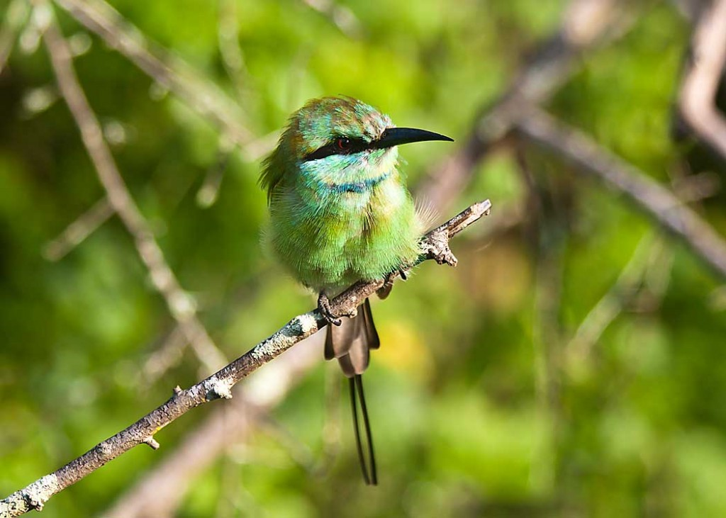 Bee eater in Yala National Park