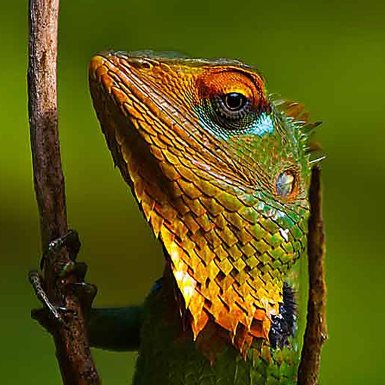 Gree-Garden-Lizard_01