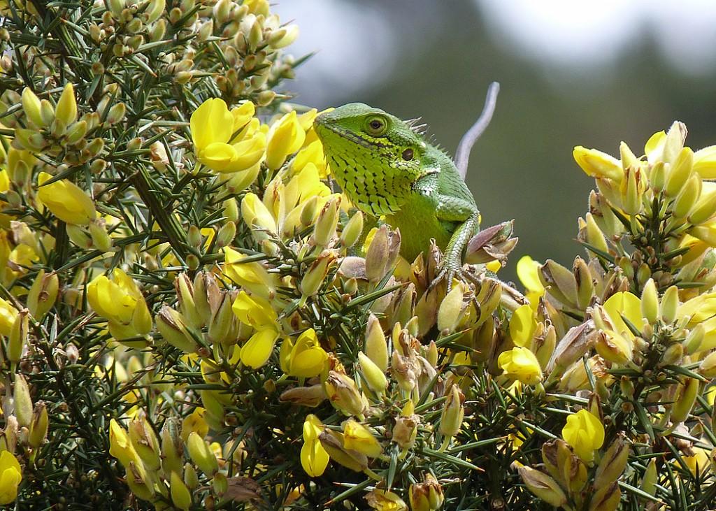 Green Forrest Lizard Sri Lanka