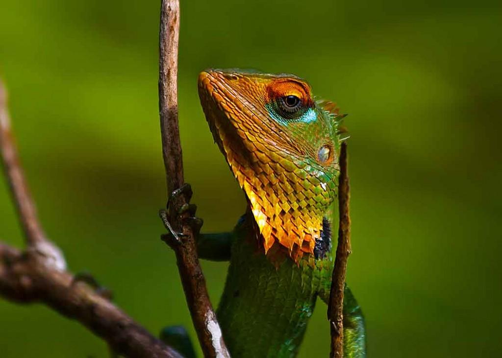 Green Garden Lizard at Sinharaja