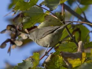 Female_Blackcap
