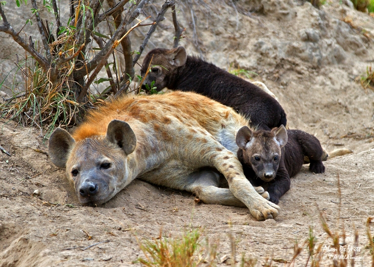 Spotted Hyena and cubs at a den