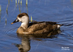 Female Red Crested Pochard