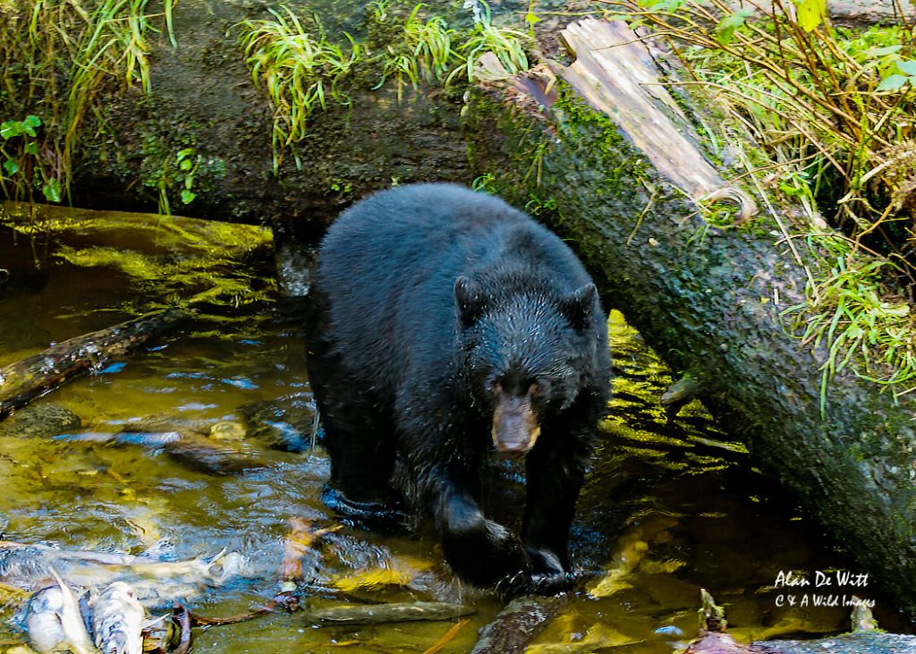 black-bear-hunting-salmon