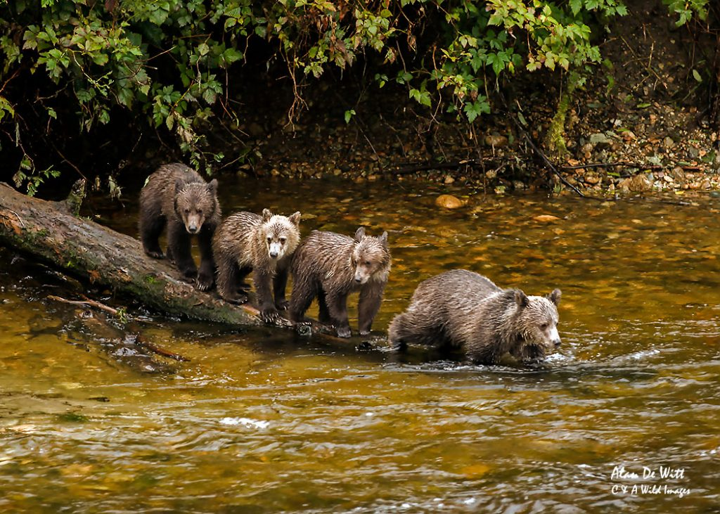 four-grizzly-cub-on-log
