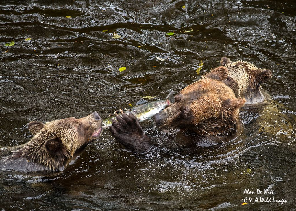 Mother feeding yearling a salmon