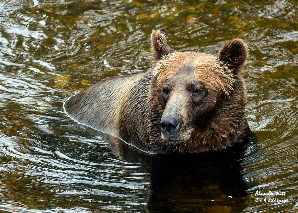adult-grizzly-bear-in-river