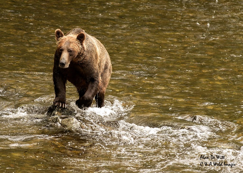 Male grizzly in river
