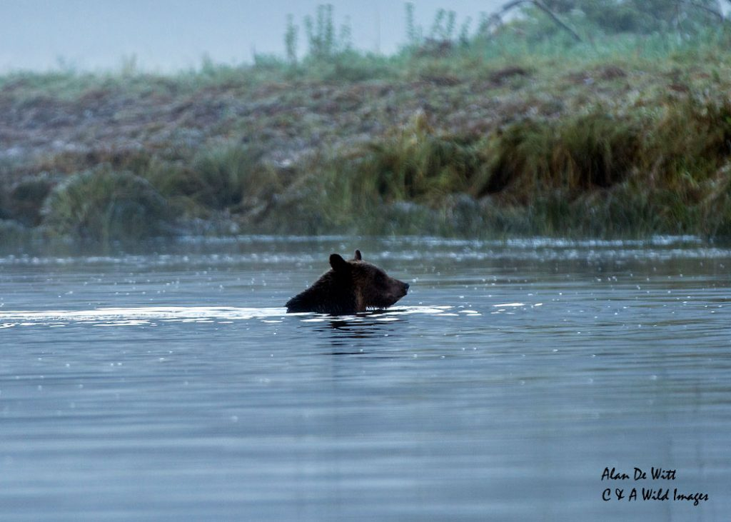 Grizzly bear swimming across Glendale river