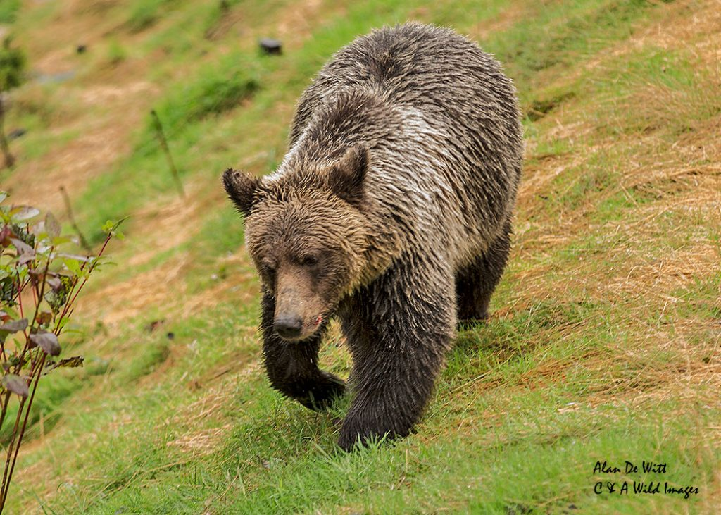 grizzly-bear_web