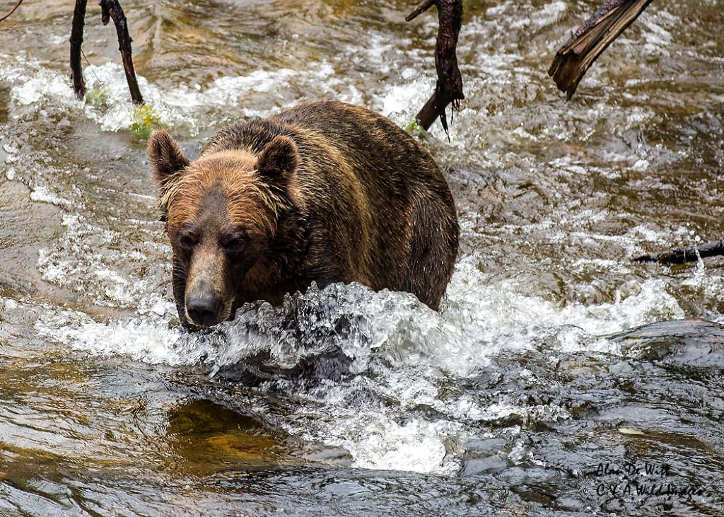 grizzly-in-river_web