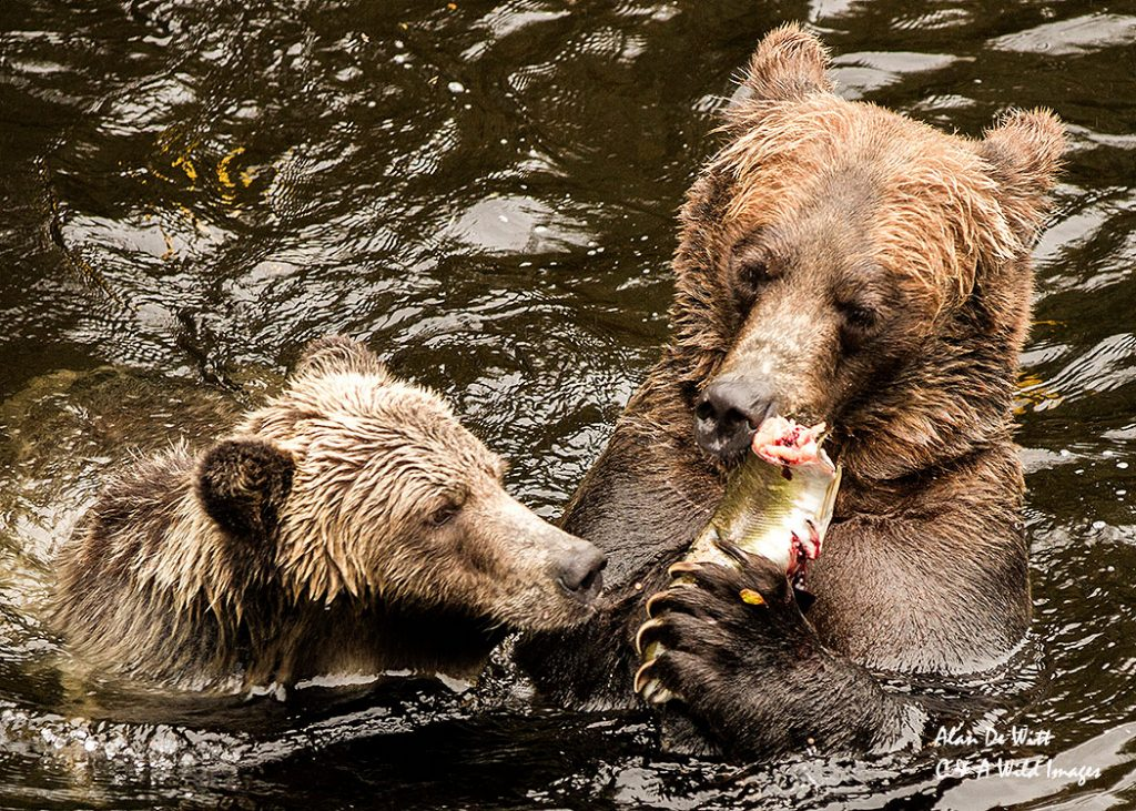 Grizzly mother and sharing a fish