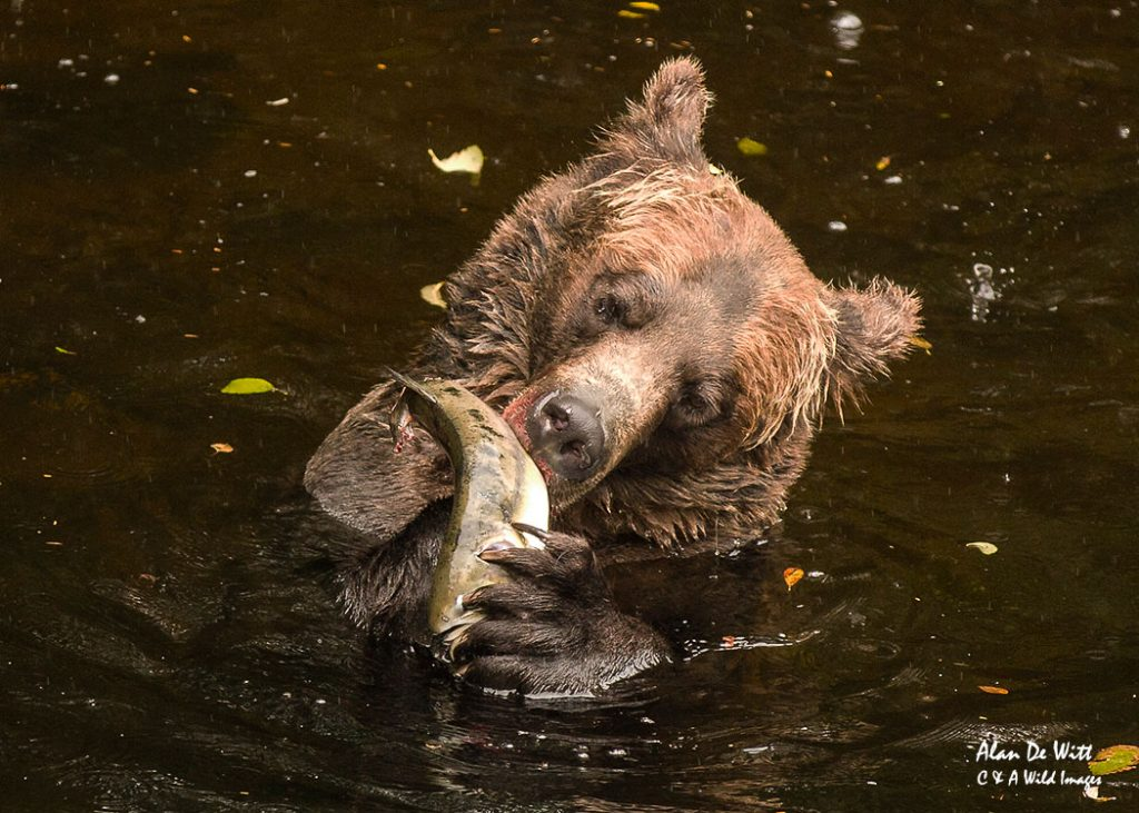 grizzly-with-salmon_web