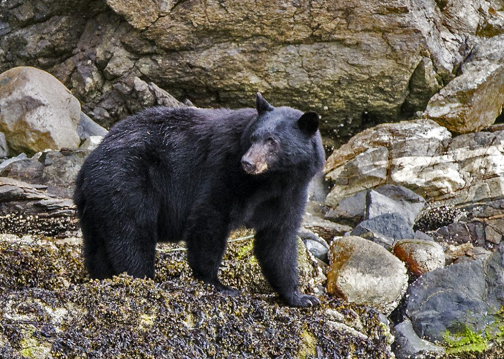 black-bear-no-3