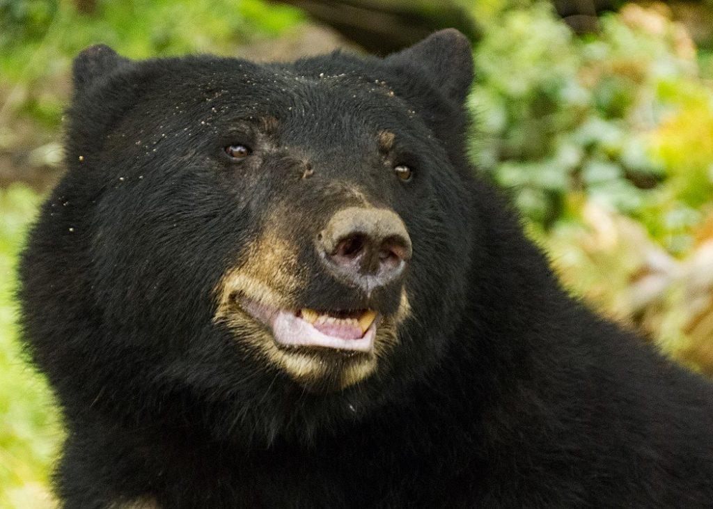 black-bear-ursus-americanus
