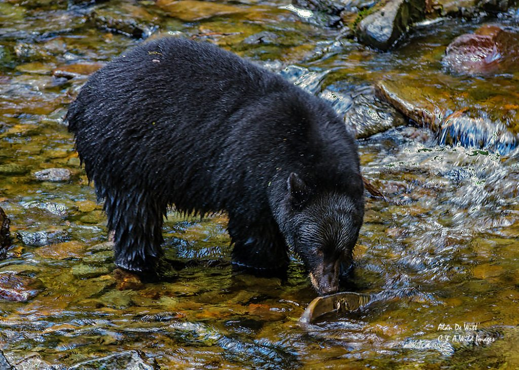 black-bear-with-salmon