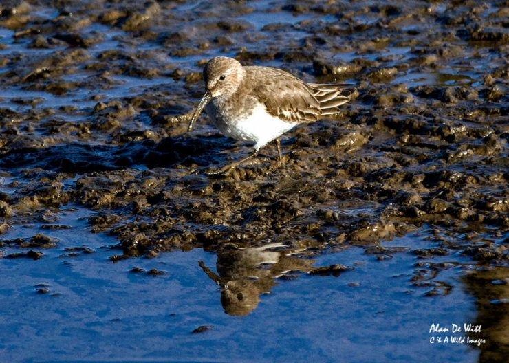 Dunlin at Titchwell