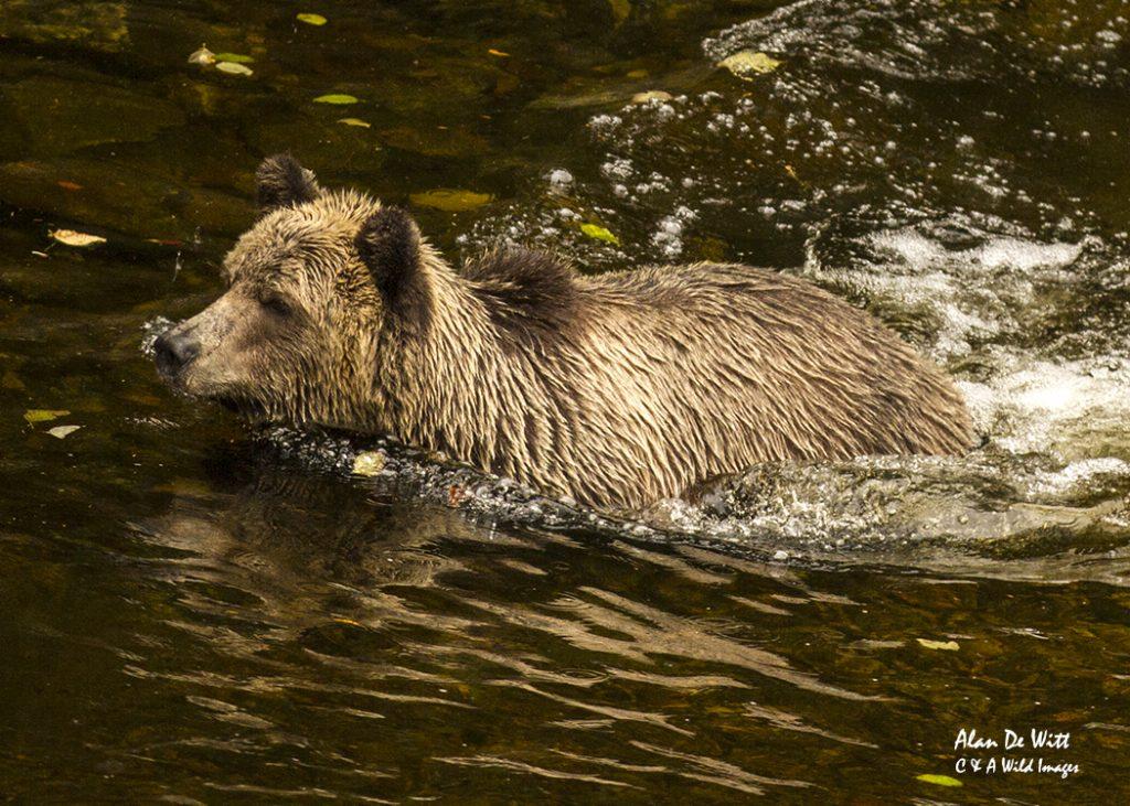 grizzly-bear-cub