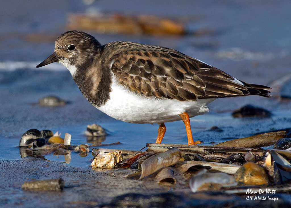 turnstone non breeding plumage