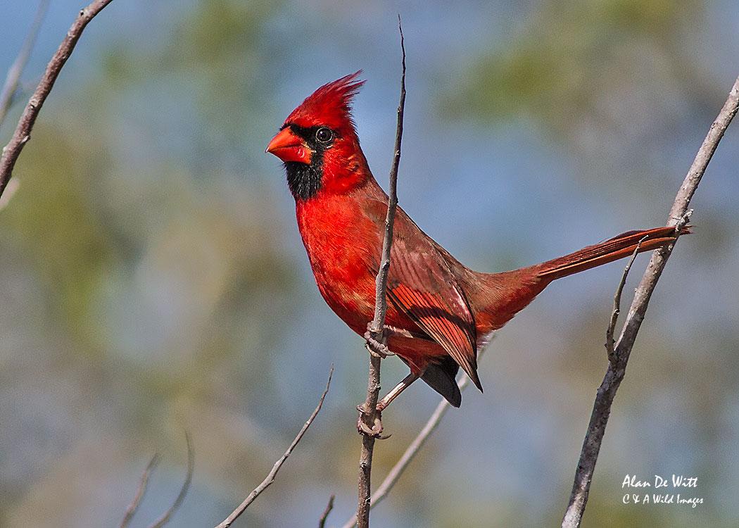 Male Cardinal at Merritt Island
