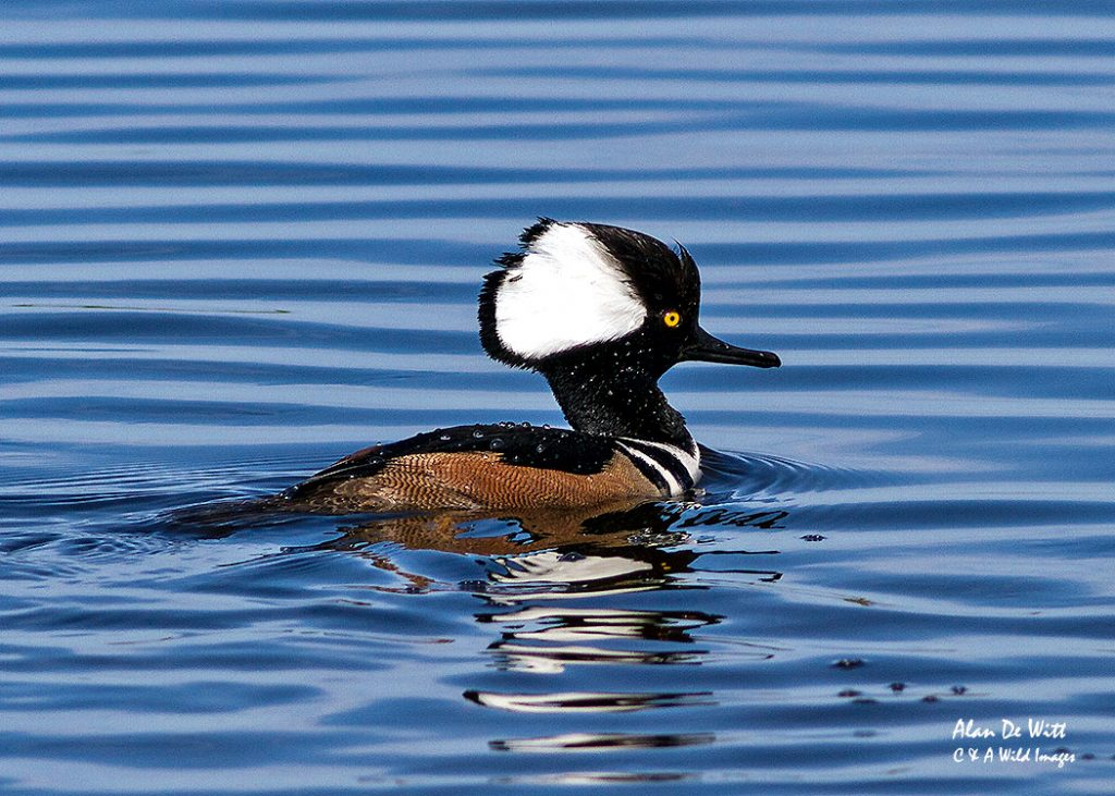 Hooded Merganser-male